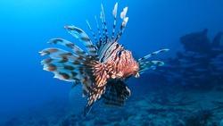 Venomous Lion Fish in the Red Sea