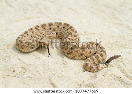 Venomous Sidewinder Rattlesnake (Crotalus cerastes) with forked tongue