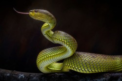 Venomous Snake Viper - Reptile Photo Series