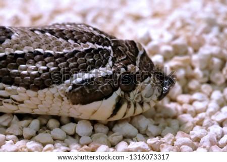 venomous snake western pig's snout (opisthoglyphous - Heterodon nasicus)