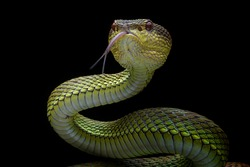 Venomous Viper - Reptile Snake Photo Series