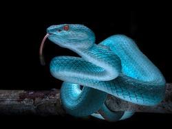 Venomous Viper Snake - Reptile Series