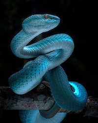 Venomous Viper Snake - Reptile/Snake Photo Series