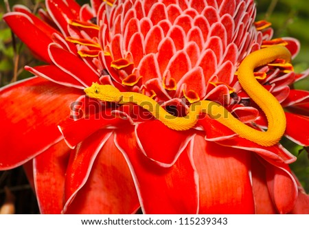 venomous yellow eyelash pit viper on red plant, arenal, costa rica, latin america, deadly snake