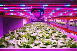 Ventilator and special LED lights belts above lettuce in aquaponics system combining fish aquaculture with hydroponics, cultivating plants in water under artificial lighting, indoors