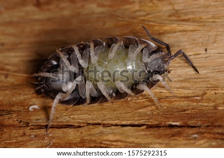 Ventral side of a gravid female of the common louse (Porcellio scaber) showing the pouch containing the eggs #1575292315