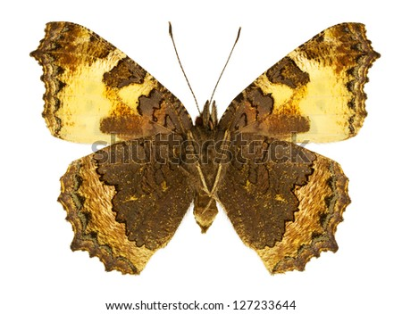 Ventral view of Aglais urticae (Small Tortoiseshell) butterfly isolated on white background.