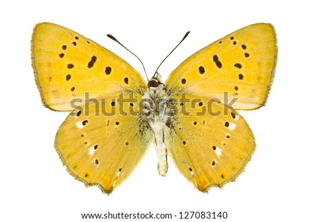 Ventral view of Lycaena virgaureae (Scarce Copper) butterfly isolated on white background.