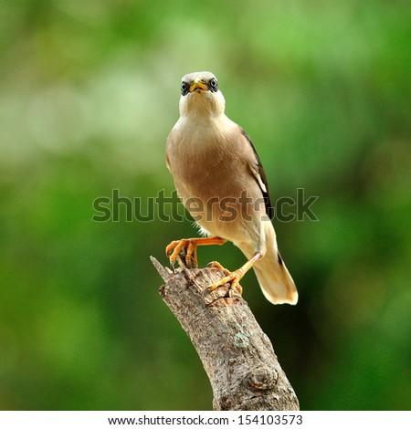 Starling Bird Symbolism Venus-breasted Starling Bird