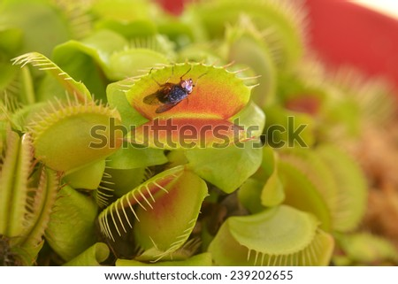 Venus fly trap (Carnivorous plant), seconds before it eats a fly.It's a carnivorous plant native to subtropical wetlands on the East Coast of the United States in North Carolina and South Carolina.