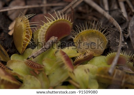 Venus Fly Trap in the Wild
