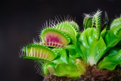 Venus fly trap is on of the carnivore plants