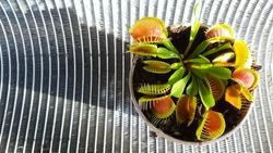 Venus flytrap, carnivorous plant dionaea in a pot. carnivorous plant