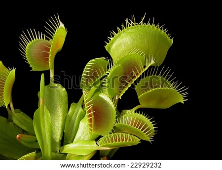venus flytrap - Dionaea muscipula