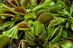 Venus flytrap (Dionaea muscipula), a carnivorous plant that catches its prey with a trapping structure formed by the terminal portion of each of the plant's leaves.