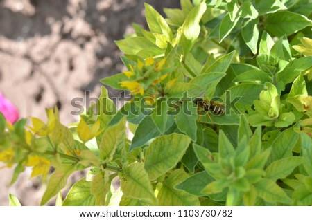 Verbainik (Latin Lysimáchia). Small yellow flowers. Wasp on a leaf #1103730782