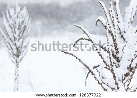 Verbascum herbal plants in snow