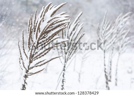 Verbascum herbal plants in snow