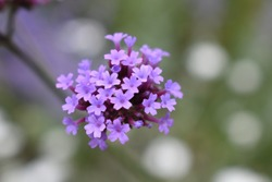 Verbena bonariensis is loved by fans of prairie-style planting by butterflies and pollinators. Tall stiff stems tower above many companion plants They bear bright purple flower clusters through summer