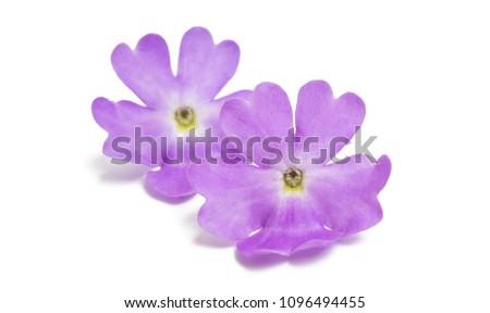 Stock Photo Verbena flowers isolated on white background