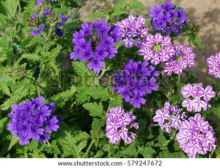 Stock Photo verbena flowers of different colors