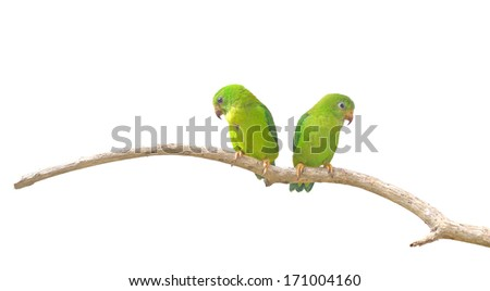 Vernal Hanging Parrot (Loriculus vernalis)  isolated on white background, Parrots of Thailand