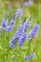 Veronica austriaca - purple-blue flowers on the field in summer in the sun. Meadow flowers of an average strip of Russia.