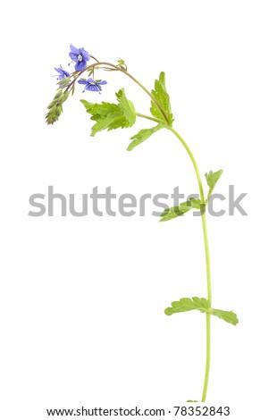 Veronica chamaedrys (Germander Speedwell) isolated on white background - stock photo