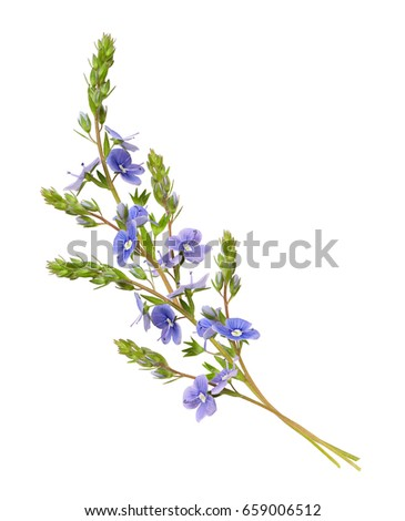 Veronica foloformis flowers wave arrangement isolated on white veronica foloformis flowers wave arrangement isolated on white background mightylinksfo