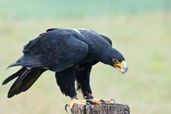 Verreaux's eagle (Aquila verreauxii) also called the black eagle ~ at a Birds of Prey Rehabilitation Center in South Africa