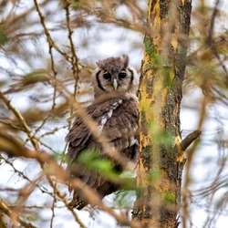 Verreaux's Eagle Owl, Bubo lacteus, also known as the milky eagle owl or giant eagle owl, is the largest owl in Africa. This adult is perched in a fever tree in Lake Nakuru National Park, Kenya.