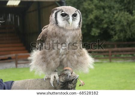 Verreaux's Eagle Owl, bubo lacteus, perched on falconers arm