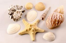 Verschiedene Muscheln auf grauem Hintergrund, Different mussels at a grey backround