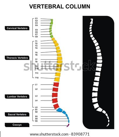 Vertebral Column (Spine) Diagram including Vertebra Groups ( Cervical, Thoracic, Lumbar, Sacral ) - Useful For Medical Education and Clinics - stock photo
