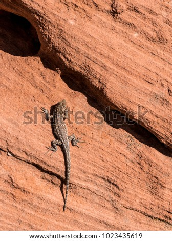 Vertical-A lizard climbs the rock formations in the Valley of Fire. #1023435619
