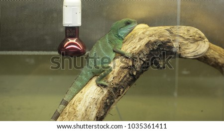 Stock Photo vertical animal pet close up - beautiful green chinese water dragon agama portrait with long claws, sitting on a tree branch in terrarium with a red and white lamp with bulb
