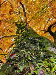 VERTICAL, BOTTOM UP, CLOSE UP, DOF: Detailed shot of moss and ivy covered tree in the woods changing colors in autumn. Lush green moss and ivy grow over the trunk of a towering tree in a golden forest