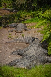 Vertical Close Shot of Three Gray American Alligators on Brown Dirt Surrounded by Green Plants and Dark Reflective Clear Water in a Zoo at Tampa Bay, FL, USA. Touring Safari and Animals in Captivity.