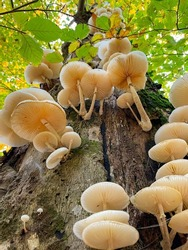 VERTICAL, CLOSE UP DOF, BOTTOM UP: White tree mushrooms grow on the side of a moss-covered tree trunk in the autumn colored woods. Detailed shot of tinder fungi growing in a vibrant forest in fall.