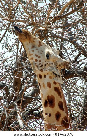Vertical close up of a desert giraffe eating from a tree with it's tongue in Niger