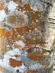 Vertical closeup of coarse tree bark with colorful irregular orange and white lichen blotches