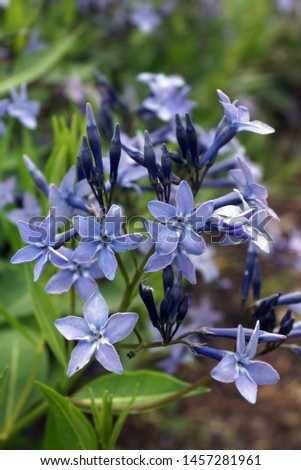 Vertical closeup of the flowers of 'Blue Ice' hybrid bluestar (Amsonia 'Blue Ice') #1457281961