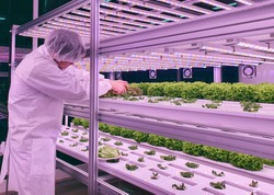 Vertical farm(indoor farm) researcher takes care of vegetables growing on vertical farm. Vertical farming is sustainable agriculture for future food.