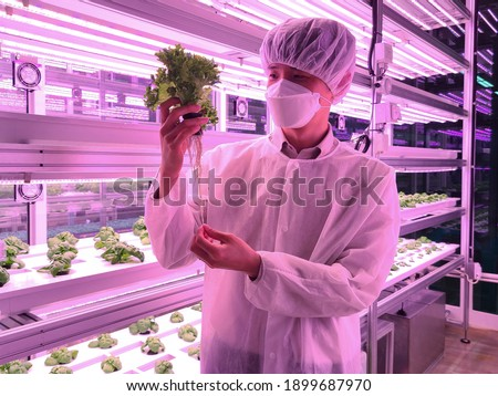 Vertical farm(indoor farm) researcher takes care of vegetables growing on vertical farm. Vertical farming is sustainable agriculture for future food and used for plant vaccine.