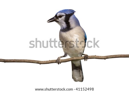 vertical full length view of bluejay perched on a branch, white background