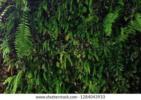 Vertical garden nature backdrop, living green wall of devil's ivy, ferns, philodendron, peperomia, inch plant and different varieties tropical rainforest foliage plants on dark background.