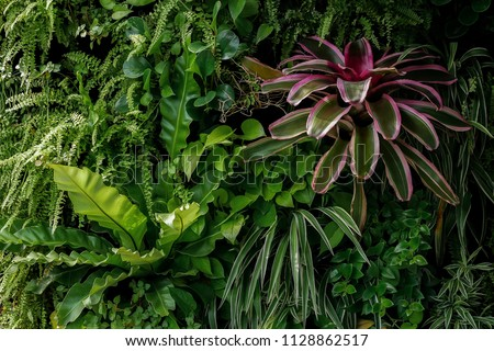 Vertical garden nature backdrop, living green wall of devil's ivy, sword fern, bird's nest fern, colorful leaves bromeliad and different varieties tropical foliage plants on dark background.
