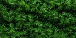 Vertical garden Philodendron Background. 3DRendering
