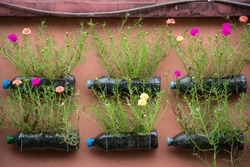 Vertical garden. Used PET water bottles were up-cycled as flower, containing colorful Portulaca Oleracea flowers.