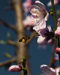 Vertical image of a bee carrying pollen while pollination season and flying to a pink peach flower nearby. With a moody blue sky as the background
